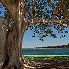 Old Moreton Bay Fig - Mandurah by Peter Rattigan