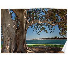 Old Moreton Bay Fig - Mandurah Poster