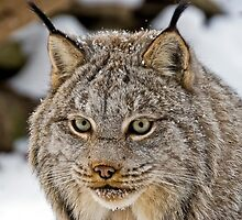 Lynx by Sue Ratcliffe