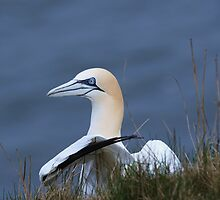 Gannet 2 by Franco De Luca Calce