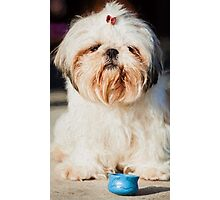 Roxy Shih-tzu  dog  Photographic Print