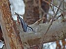 White-Breasted Nuthatch (Sitta carolinensis) by MotherNature