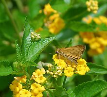 Brown butterfly on yellow flowers by Ben Waggoner