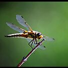 Gold Dragonfly  by Diane Blastorah