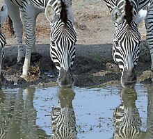 Zebras in reflection up close by jozi1
