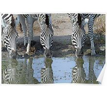 Zebras in reflection up close Poster