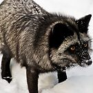 Silver Fox by Sue Ratcliffe