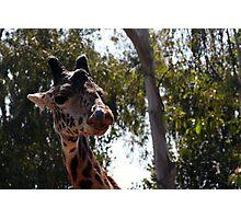Giraffe at San Diego Zoo Photographic Print