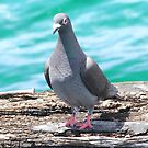 Jetty  pidgeon by Rick Playle
