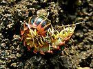 Millipede Polydesmida (Sigmoria aberrans) by MotherNature