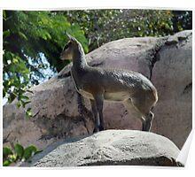 African Kilpspringer San Diego Zoo Poster