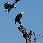Pair of Bald Eagles by Klaus Girk