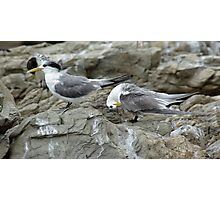 Crested terns Photographic Print