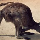 Kangaroo at Melbourne Zoo by melissagavin