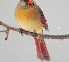 Northern Cardinal in the snow by Rob Lavoie