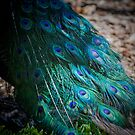 Peacock feathers up close by melissagavin