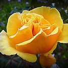Australian Gold - in my Garden by EdsMum