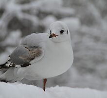 Seagull warming leg in the snow by JF Gasser