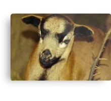 Cameroon sheep Metal Print