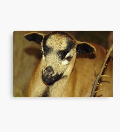 Cameroon sheep Canvas Print