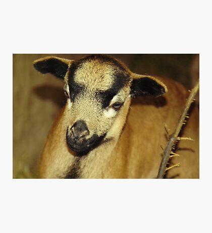 Cameroon sheep Photographic Print
