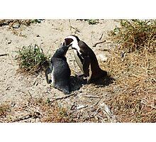 penguin feeding Photographic Print