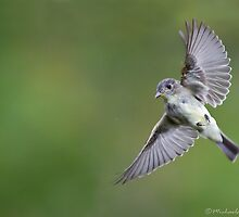 Eastern Wood-pewee by Michaela Sagatova