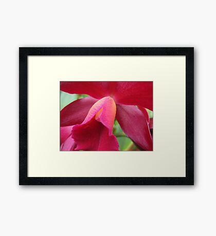 Tutankhamun Orchid Flower Close-Up Framed Print