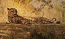 Cheetah by CarolM