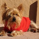 A sweet little dog enjoying the winter sun by Trine