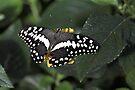Citrus Swallowtail by PhotosByHealy