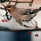 Bohemian waxwing by Grandalf