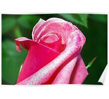 Rising rose Poster