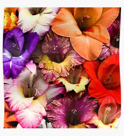 Colorful Gladiolas Poster