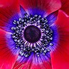 Red and Blue Poppy by Oscar Gutierrez