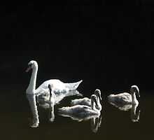 Swan and Goslings on Water of Leith by iluvembra