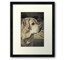 Watching the tide - Labrador at beach Framed Print