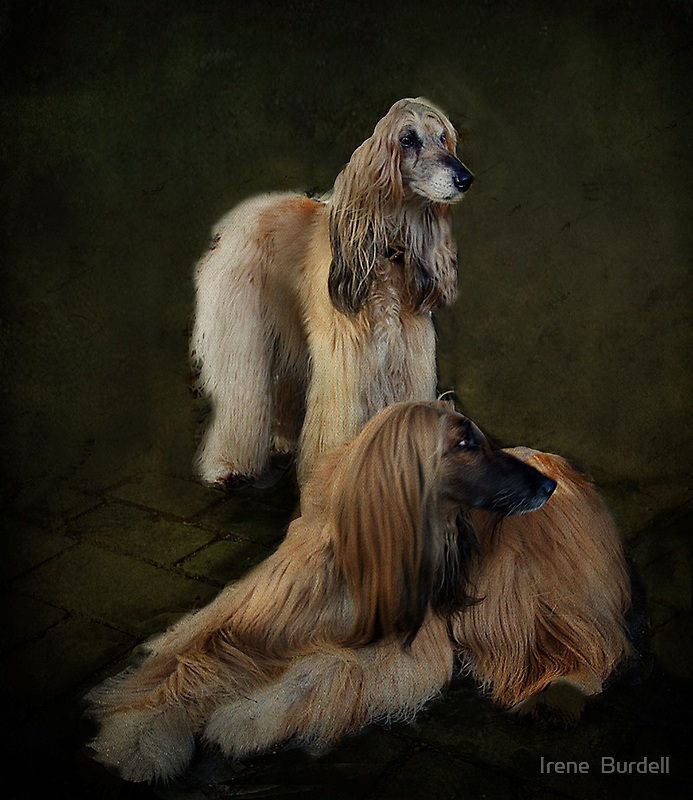 Beautiful Afghan Hounds  by Irene  Burdell