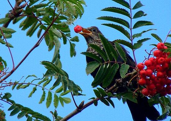 Berry Happy Blackbird - Juvenile Blackbird - NZ by AndreaEL
