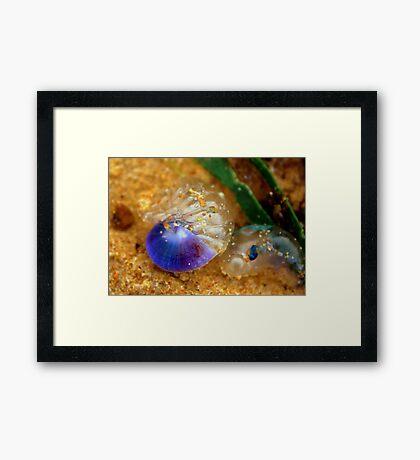 Purple sea snail + blue-bottle Framed Print