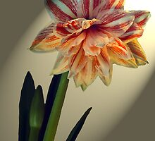 Amaryllis. Star of the Show. by James  Key