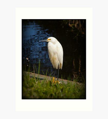 Snowy White Egret Art Print