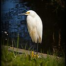 Snowy White Egret by Diana Nault