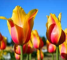 Yellow and pink colored tulips by snehit