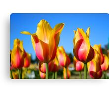 Yellow and pink colored tulips Canvas Print