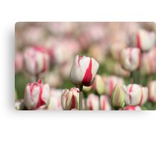 White and pink colored tulips Canvas Print