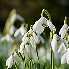 Snowdrops by photontrappist