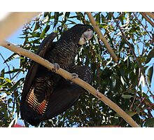 Black and Red Cockatoo  Photographic Print