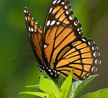 Viceroy Butterfly by Lisa Dugger