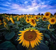 Wide Angle Sunflower Field by KellyHeaton